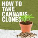 Wie man Cannabis Klone nimmt