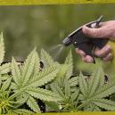 Wie und warum Du Blattsprays für Deine Cannabispflanzen nutzen solltest