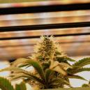 Der umfassende Pflanzenlampen-Ratgeber für autoflowering und feminisiertes Cannabis