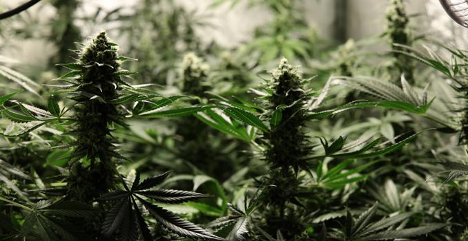 C02 cannabisernte
