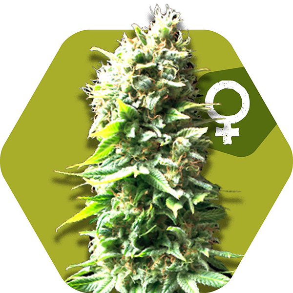 skunk feminized cannabis strain