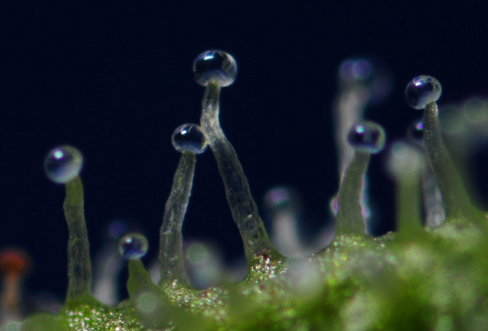Cannabis Transparent Trichomen
