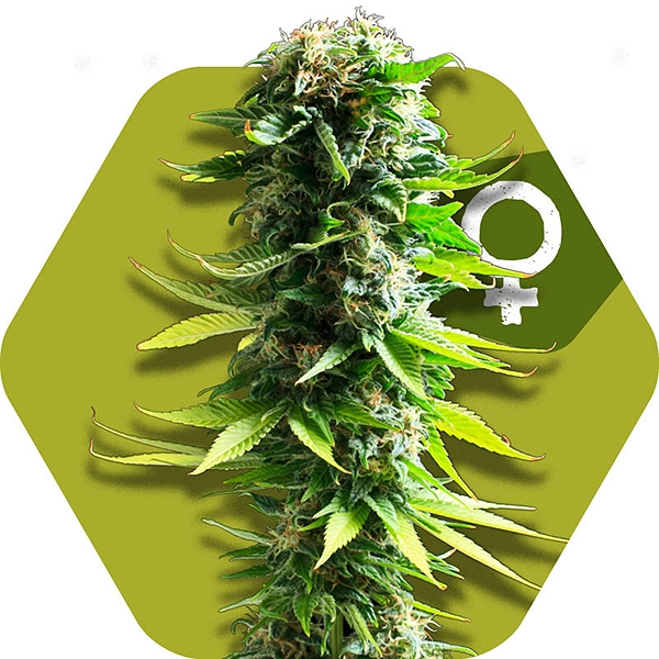 Blue Spider Cannabis seeds