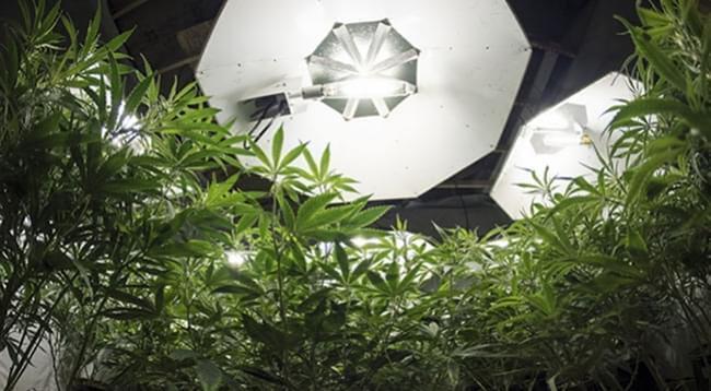 Die Optimale Lichtmenge Für Cannabispflanzen