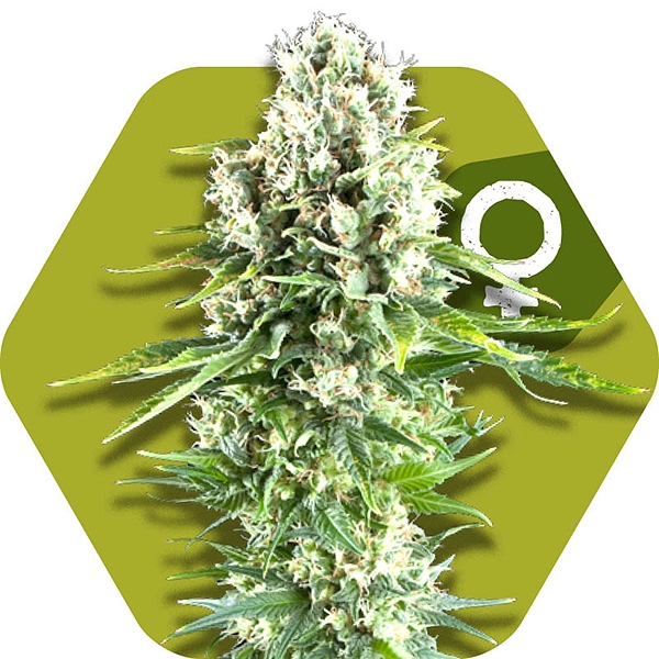 Northern Lights XL Feminisierte Hanfsamen