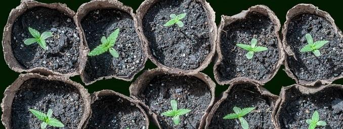 cannabispflanzen richtig umtopfen so wachsen deine pflanzen gr er zambeza seeds. Black Bedroom Furniture Sets. Home Design Ideas