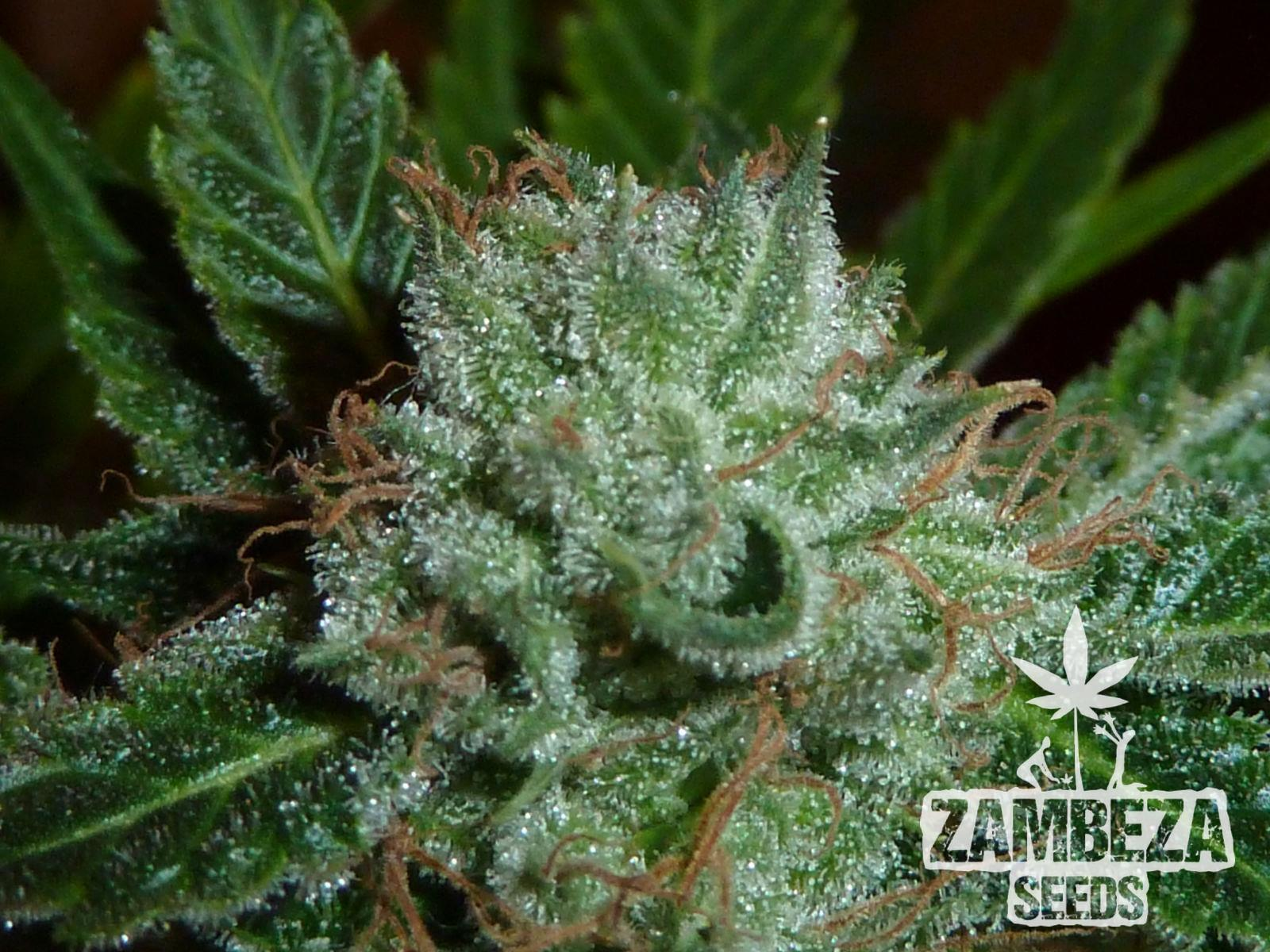 Zambeza Seeds White Widow Hanfsamen