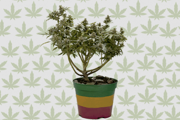 Wie man Cannabis-Bonsai anbaut