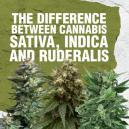 Der Unterschied zwischen Cannabis Sativa, Indica und Ruderal