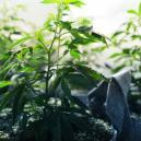Die vegetative Phase von Cannabis