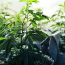 Die vegetative Phase von Cannabis