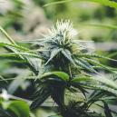 Die Blütephase der Cannabispflanze