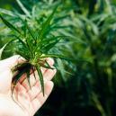 Deine Cannabispflanzen wechseln nicht in die Blütephase – wa