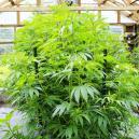 Wie Du verhinderst, dass Deine Pflanze im Innenbereich zu ho