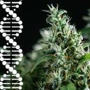 Wie Du Deine eigene Cannabisgenetik züchtest und bewahrst