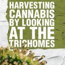 Cannabis Unter Betrachtung Der Trichomen Ernten