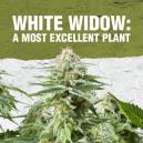 White Widow: Eine der herausragendsten Pflanzen