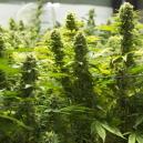 Die besten Methoden, um Cannabiserträge zu steigern