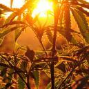 Cannabis im Freien anbauen: Wie viel Sonnenlicht brauchen Pf