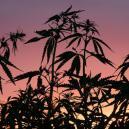 Warum die Dunkelphase für Cannabis wichtig ist
