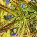 Trockene Cannabisblätter: Verursachung und Vorbeugung