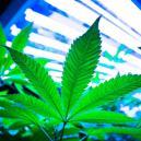 LEC-Lampen für den Cannabisanbau verwenden