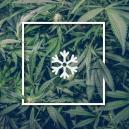 Marihuana-Anbau bei kaltem Wetter