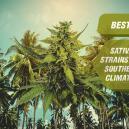 Die besten Sativa-Cannabissorten für südliche Klimazonen