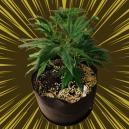 Was ist Perlit und wie wird er beim Anbau von Cannabis einge