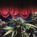 Die ertragreichsten Cannabissorten von Zambeza