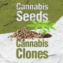 Cannabis Samen im Verleich zu Cannabis Klonen