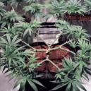 Wie man Main-Lining an Cannabispflanzen anwendet