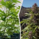 Cannabispflanzen von drinnen ins Freie verlagern