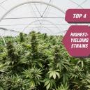 Die 4 besten ertragreichsten Cannabissorten von Zambeza