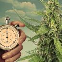 Beleuchtungspläne für autoflowering Cannabispflanzen