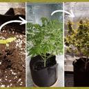 Die Wachstumsphasen der Cannabispflanze