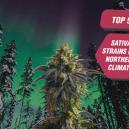 Die 5 besten Sativa-Sorten für nördliches Wetter