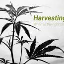 Wann ist die richtige Zeit, um sein Cannabis zu ernten?