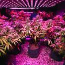Cannabisanbau: 5 Tipps Für Den Anbau Mit LEDs