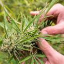 Was Verursacht Stress Für Cannabispflanzen?