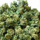 Supercropping Bei Cannabispflanzen