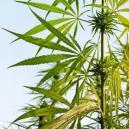 Die Anatomie Der Cannabispflanze
